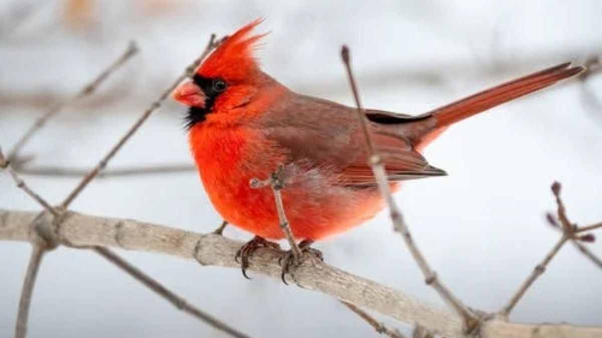 You are currently viewing Red Cardinal: Does It Have a Biblical Meaning? [Explained]
